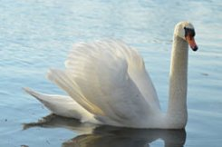 This picture of a swan is not a noun. :) www.GrammarRevolution.com/what-is-a-noun.html
